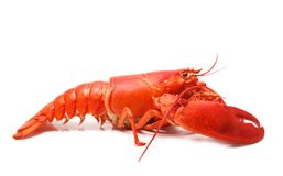 Red lobster. Cooked red lobster isolated on white Stock Photos