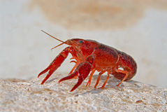 Red lobster. Alive on a rock stock photo