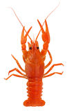 Red lobster isolated on the white background stock photo