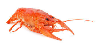 Red lobster isolated on the white background royalty free stock photo