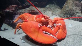Red Lobster. Posing for a picture at New England Aquerium Royalty Free Stock Images