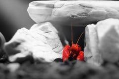 Red Lobster Shrimp Stock Image