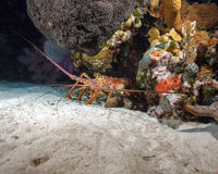 Red lobster in the wild, Cayo Largo, Cuba Stock Images