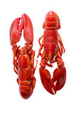 Red Lobsters Duo Isolated on White Background Royalty Free Stock Photo