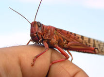 Red Locust. On my hand Royalty Free Stock Image