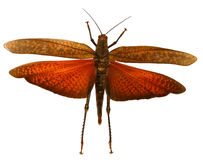 Red Locust. Exotic locust primed with open wings and stretched out legs Stock Image
