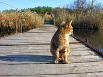 Red lonely cat sitting on the old wooden ponton bridge Royalty Free Stock Images
