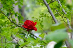 Red lonely rose in garden Royalty Free Stock Image