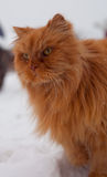 Red long hair cat Ginger walking in snow Stock Images