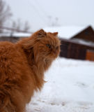 Red long hair cat Ginger walking in snow Stock Image