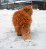 Red long hair cat walking Stock Photo