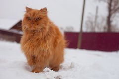 Red long hair cat walking Royalty Free Stock Photography
