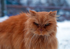 Red long hair cat walking Stock Photo