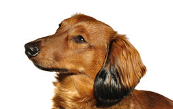 Red Long Haired Dachshund. Portrait of Red Long-Haired Dachshund Isolated on White royalty free stock images