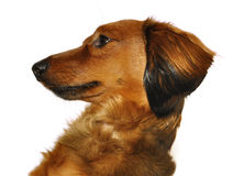 Red Long-Haired Dachshund Royalty Free Stock Image