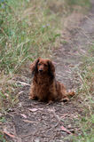 Red long haired dachshund. Dog on track in countryside Stock Photography