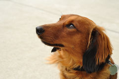 Red Long-Haired Dachshund. Portrait of Red Long-Haired Dachshund stock photography