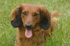 Red Long-Haired Dachshund Royalty Free Stock Images