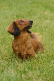 Red Long-Haired Dachshund. Portrait of Red Long-Haired Dachshund on the Grass stock photography