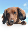 Red Long-Haired Dachshund Above a Blank Sign. Red Miniature Long-Haired Dachshund Above a Blank Sign stock photos