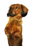 Red Long-Haired Dachshund Begging Royalty Free Stock Photos