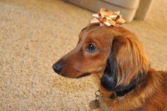 Red Long-Haired Dachshund with Gold Bow. Red Long-Haired Dachshund with Golden Bow on its Head royalty free stock photography