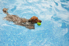 Red Long-Haired Dachshund Swimming. In a Pool royalty free stock images