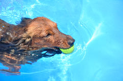 Red Long-Haired Dachshund Swimming. In a Pool royalty free stock photography