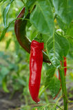 Red long hot pepper Stock Photography