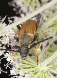 Red longhorn beetle (Stictoleptura rubra) Royalty Free Stock Photos