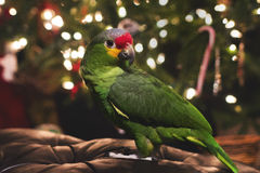 Red Lored Amazon Parrot. Beautiful Red Lored Amazon Parrot posing for a portrait Stock Image