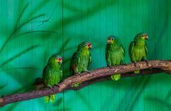 Red lored amazon parrots sitting together on a tree branch in the aviary, tropical bird from the amazon basin of America. Some red lored amazon parrots sitting royalty free stock images