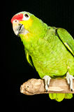Red lored amazon rescued parrot. Portrait of a Red lored amazon rescued parrot perched on a limb at the rescue facility Stock Image