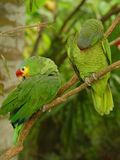 Red lored couple. Red lored parrots. Mexico Royalty Free Stock Images