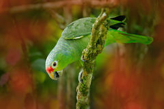 Red-lored Parrot, Amazona autumnalis, portrait of light green pa. Rrot with red head, Costa Rica. Portrait of bird. Wildlife scene from tropic nature. Parrot Stock Image