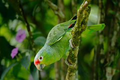 Red-lored Parrot, Amazona autumnalis, portrait of light green parrot with red head, Costa Rica. Detail close-up portrait of bird. Red-lored Parrot, Amazona Royalty Free Stock Images