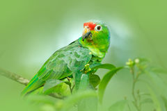 Red-lored Parrot, Amazona autumnalis, portrait of light green parrot with red head, Costa Rica. Detail close-up portrait of bird. Stock Photos