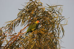 Red-lored Parrot Stock Image