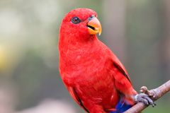 Red Lorikeet Royalty Free Stock Images