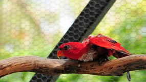 Red Lorikeet Bird Royalty Free Stock Images