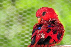 Red Lorikeet Bird In Aviary Stock Photography