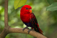 Red lory Royalty Free Stock Image