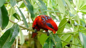 Red Lory Bird Stock Photography