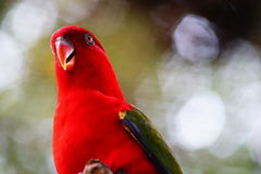 Red lory bird. On blurred and bokeh background Royalty Free Stock Images