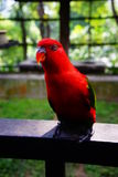 Red lory bird. On blurred and bokeh background Stock Images