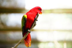Red lory bird. On the branch,  on blurred and bokeh background Stock Images
