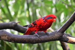 Red Lory Bird Stock Photo