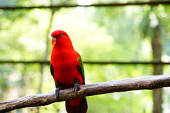 Red lory bird. Stay on the branch Royalty Free Stock Photos