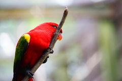 Red lory bird. Stay on the branch,  in blurred and bokeh background Royalty Free Stock Images