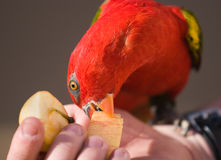 Red Lory Parrot. A red lory parrot eating an apple from a persons hand Royalty Free Stock Photography